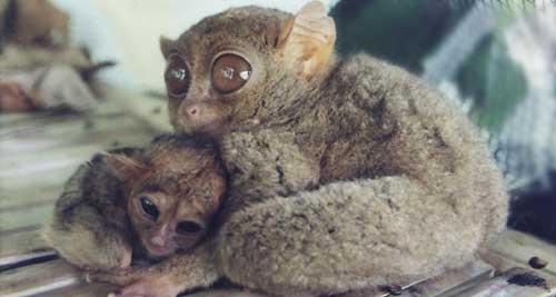 Tarsier with baby care philippine-tarsier