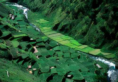 Banaue rice terraces blooming care ifugao