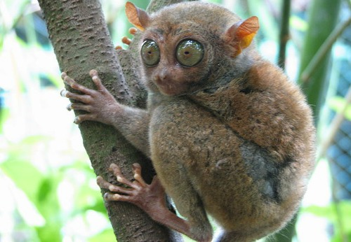 Tarsier care philippine-islands