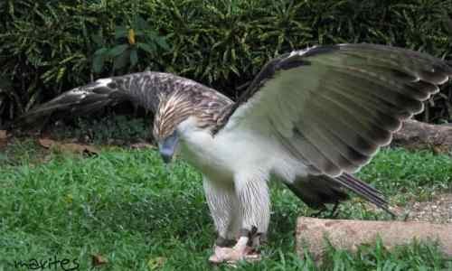 Philippine eagle care philippine-islands