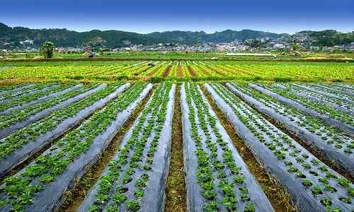 Strawberry Farm La Trinidad Benguet of philippine-provinces