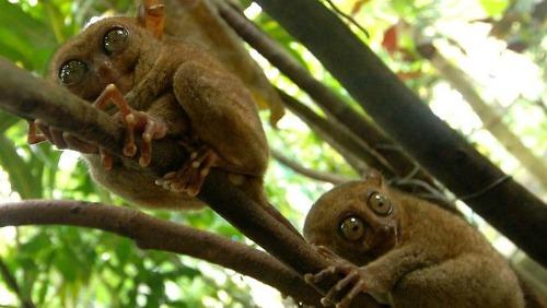 Oldest mammal care philippine-tarsier