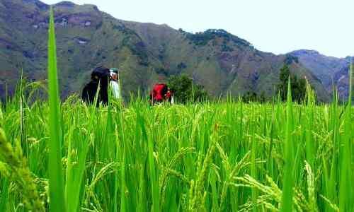 Mid-growth rice care ifugao