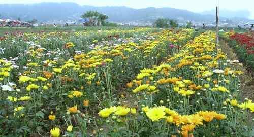 Flower farm La Trinidad care business-philippines